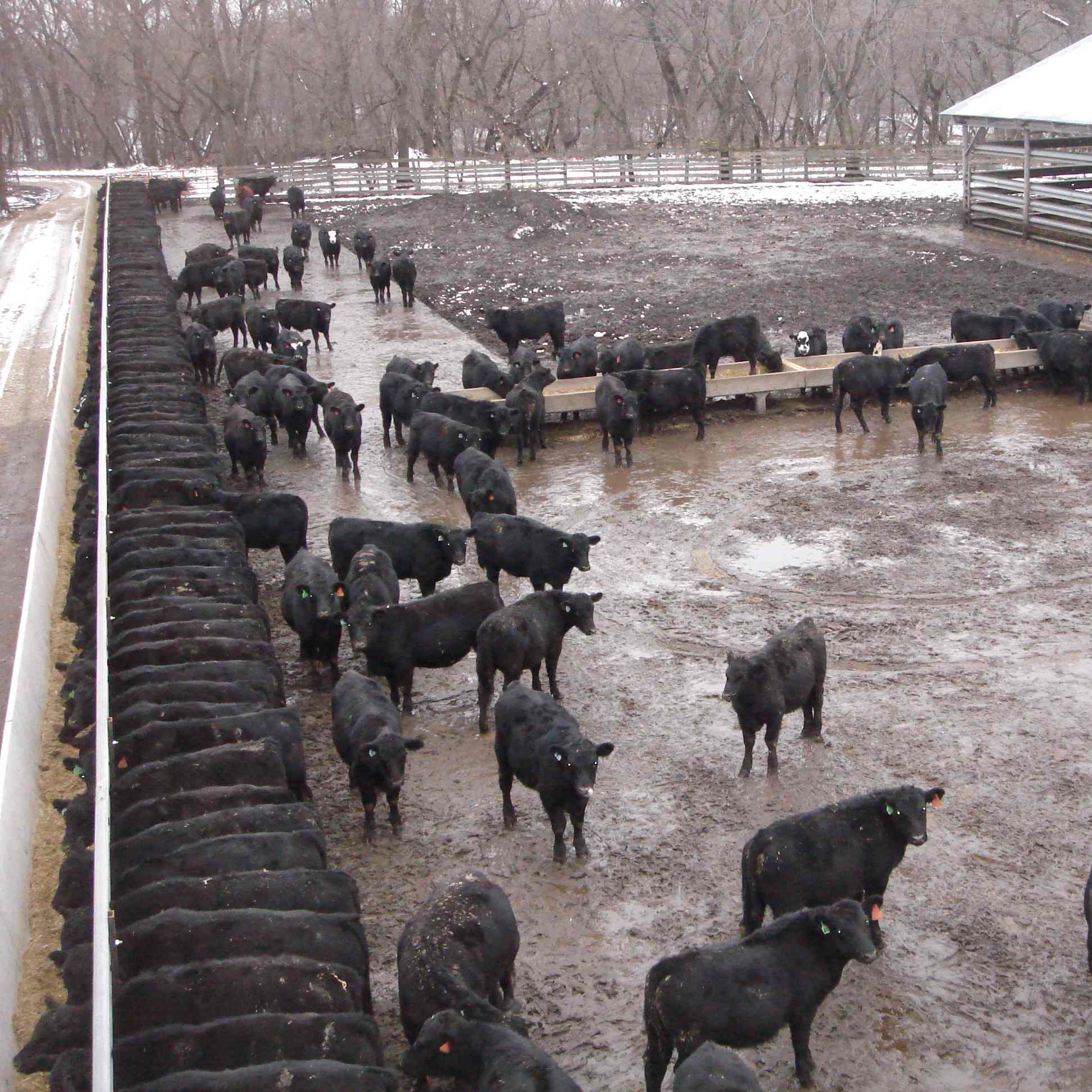 muddy, standing water, with cows standing in close quarters in a feeding lot