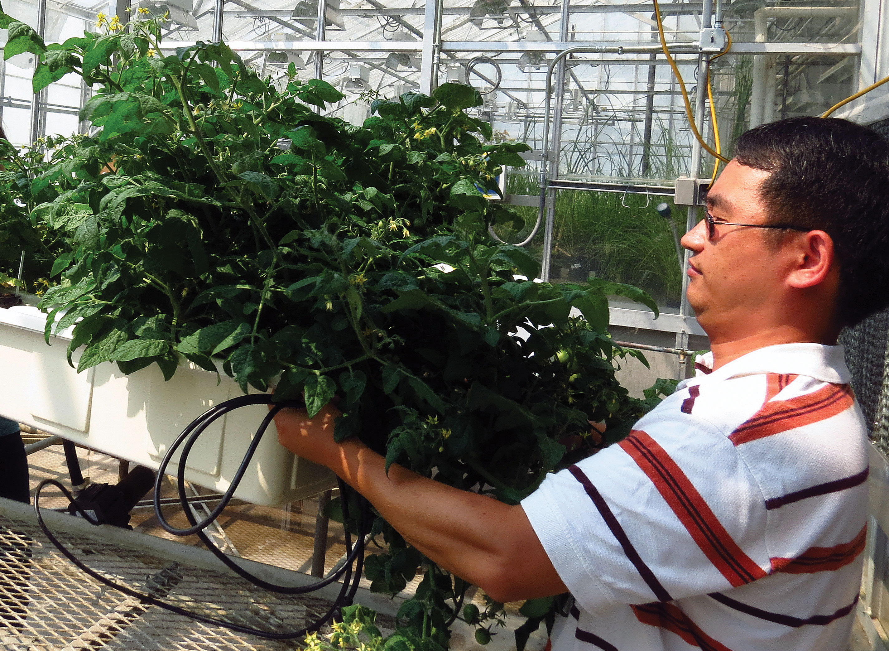 Wei Zheng adjusts his hydroponics system which is used to study PPCP uptake into vegetables