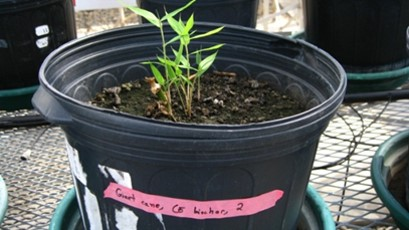 pot with soil and biochar in a green house; giant cane is growing in the pot