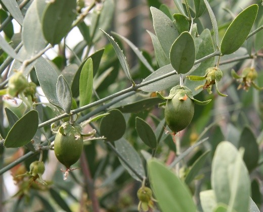 jajoba tree branches with leaves and seed pods