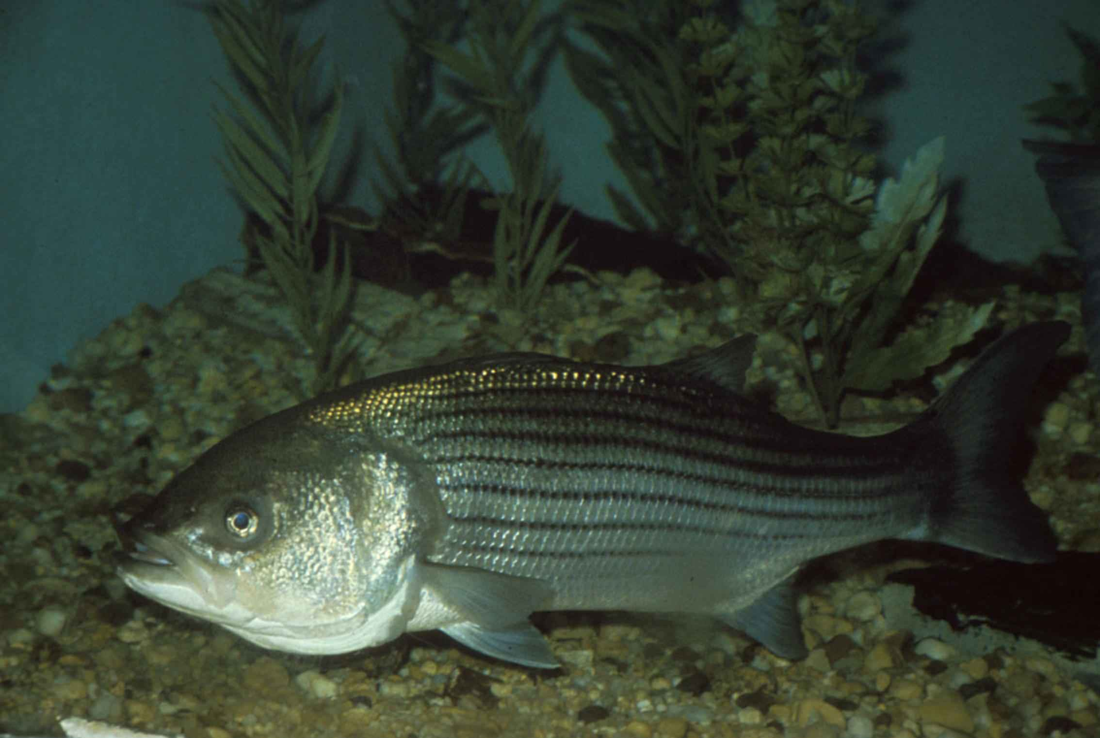 One large striped bass is in a large tank with gravel and sea grasses below and behind it